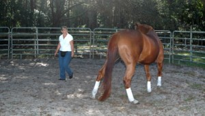 Once the horse understands the clicker you can use it for liberty work in the round pen.